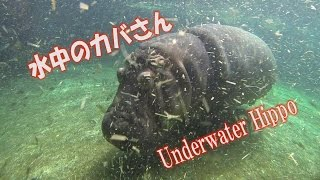 大阪の天王寺動物園は、カバの水槽があり水中で泳ぐ様子などを観察でき...