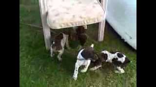 German Shorthaired Pointer Puppies (2011 Mickey / Stormy Litter, Tug Of War)