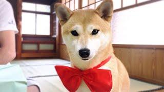 柴犬もも5歳になりました Momo turned 5
