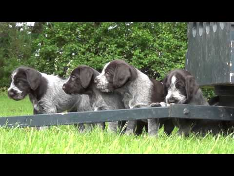 Wirehaired pointer puppies - first time outside