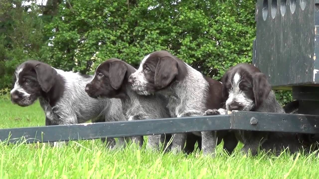 Wirehaired pointer puppies - first time outside - YouTube