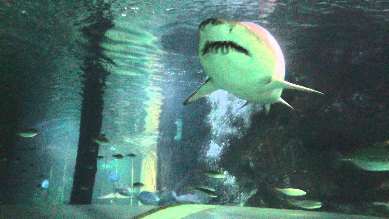 Shark Habitat in Manly Australia - YouTube