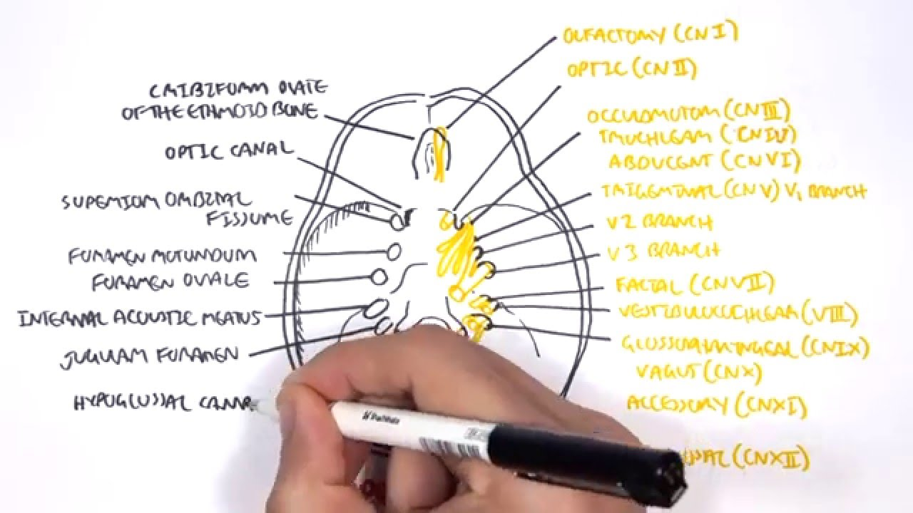 Anatomy - Cranial Nerves and the Skull - YouTube
