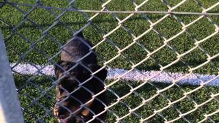 Labrador Vs Rottweiler Vs Boxer