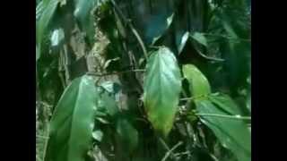 Mengenal CABE JAWA Sebagai Tanaman Herbal Alami