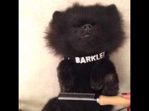 #keepon part 2… deluxe edition – BarkleyThePom's Vine