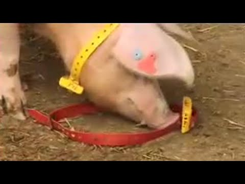 Thumbnail: Pregnant pig computer hackers - Clever Critters - BBC Pets & Animals