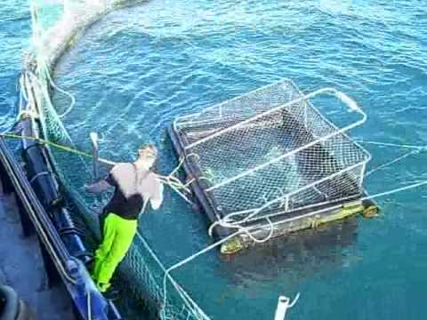 Port Lincoln Tuna Feeding