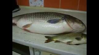 Белый амур 11 кг 200 г Разбираем рыбу