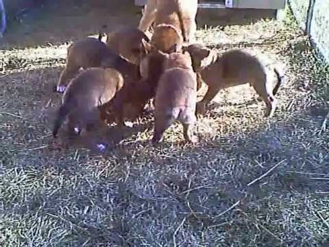 Video 8 - New Guinea Singing Dog Momma Gegurtitates Kibble for Pups