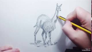 How to draw a Vicuña - Como dibujar una Vicuña