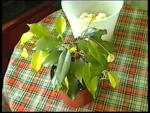 Фикус бенджамина(Сорт Моник) с зеленым листом. Пересадка.