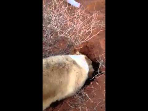 Dog digging a big hole