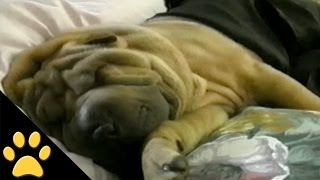 Shar-peis Are Awesome: Compilation