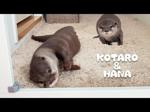 カワウソコタローとハナ まったりしすぎな2人の朝 Otter Kotaro&Hana A Certain Morning