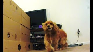 Cocker Spaniel Wall Jump