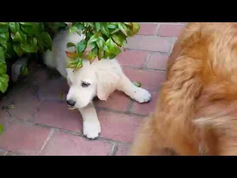 Bailey The Baby Golden Retriever Playing # 5