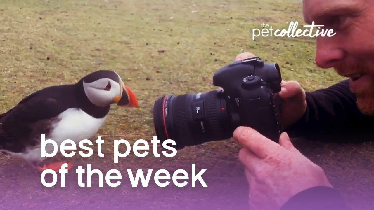 Best Pets of the Week - THE PERFECT PUFFIN   The Pet Collective