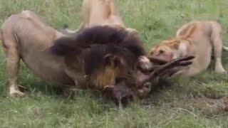 メスライオンがオスライオンと獲物を取り合う 【関連動画】 ライオンが...