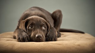 How to Potty Train A Lab Puppy