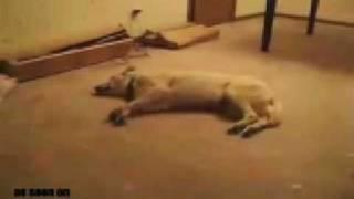 Sleepwalking, Do Dogs Have Dreams Or Nightmares?
