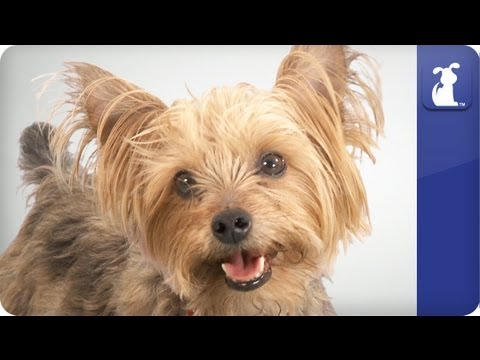 Doglopedia - Yorkshire Terrier