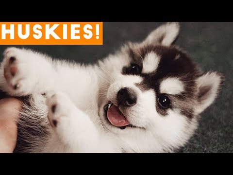 The Funniest and Cutest Husky Compilation of 2018   Funny Pet Videos