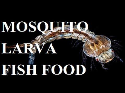 Culture mosquito larva / Fish Food/ Hindi