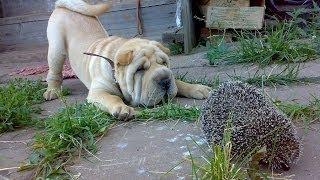 Ёж нападает на собаку