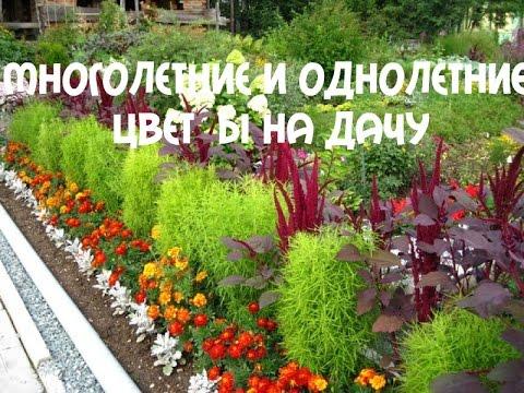 дачные цветы однолетники фото