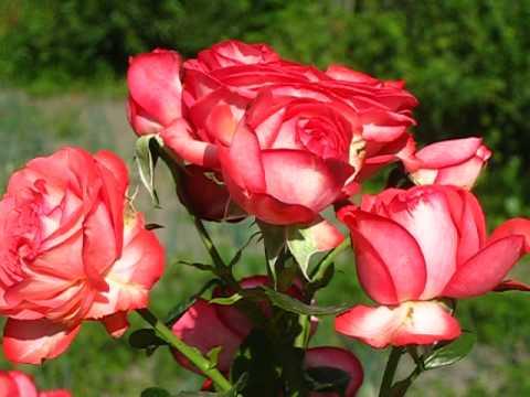 Роза Компешн.полуплетистая высота не более 2 метр. Запах слабый .
