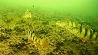 ДА ЧТО ОНИ ТВОРЯТ Окуни восстали Подводная съемка