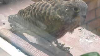 Завтрак хищной птицы- пустельги в Бресте (съела целую мышь)