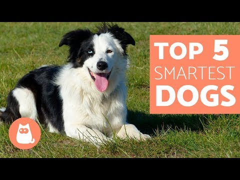 The Most Intelligent Dog Breeds in the World  Everything you need to know