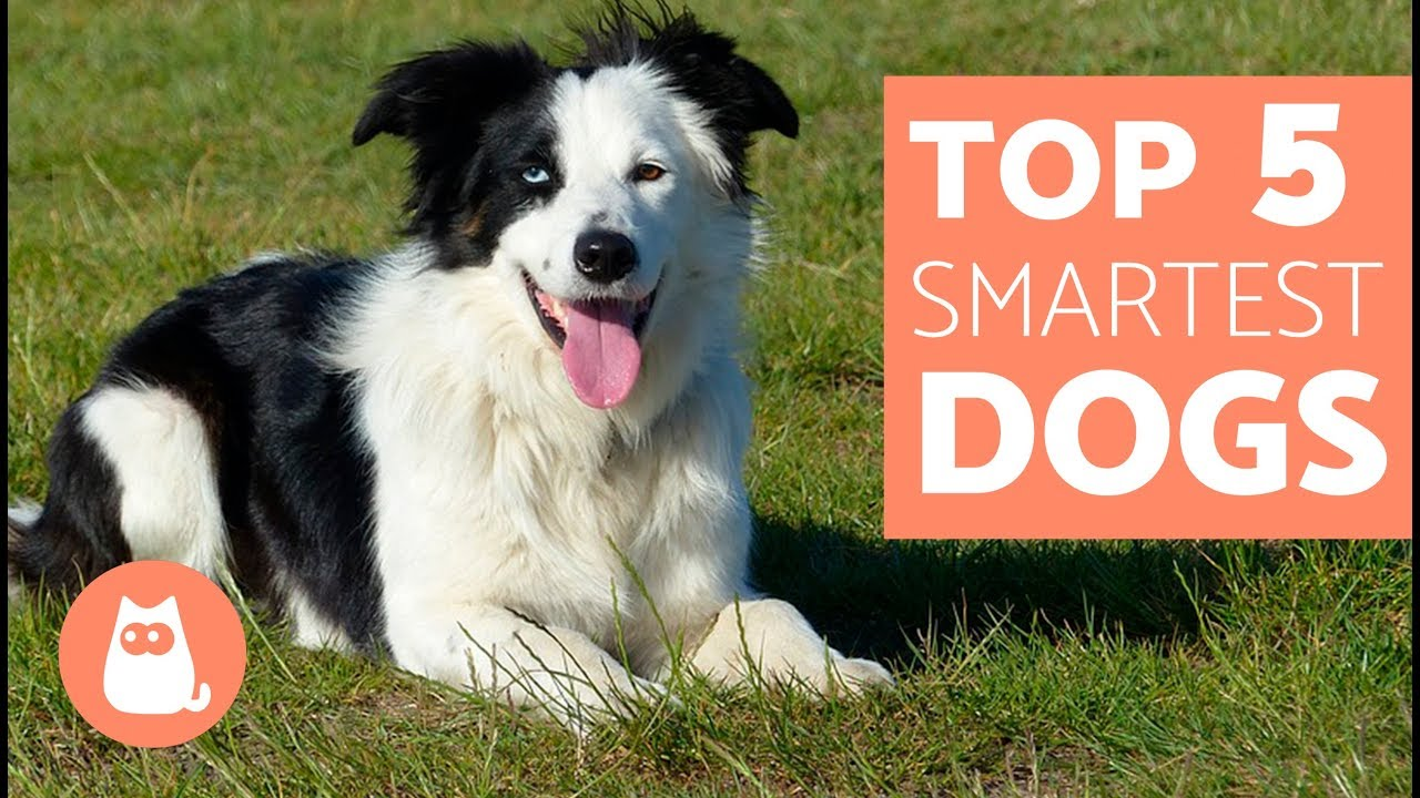 The Most Intelligent Dog Breeds In