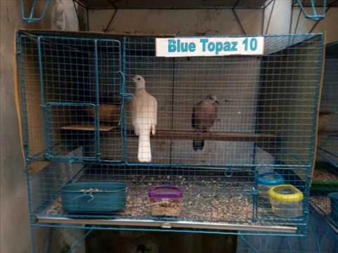 KECAPI SULING SUNDA WITH DERKUKU BIRD SONG - BLUE TOPAZ BIRD FARM MUNTILAN MAGELANG