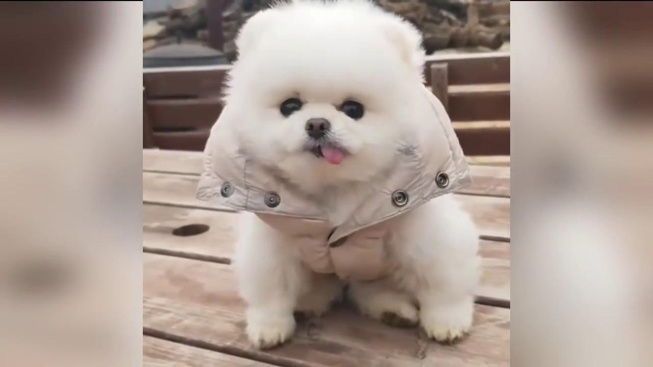 Chó phốc sóc Pomeranian và những khoảnh khắc đáng yêu