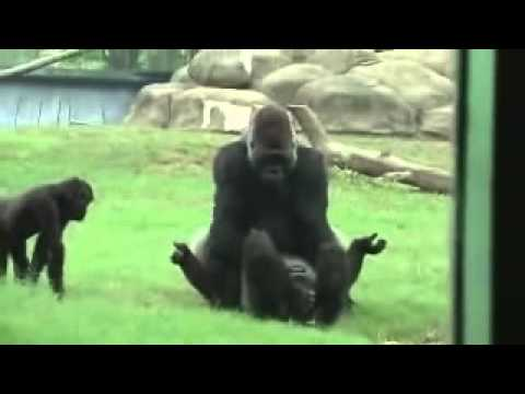 Gorillas in love at Zoo