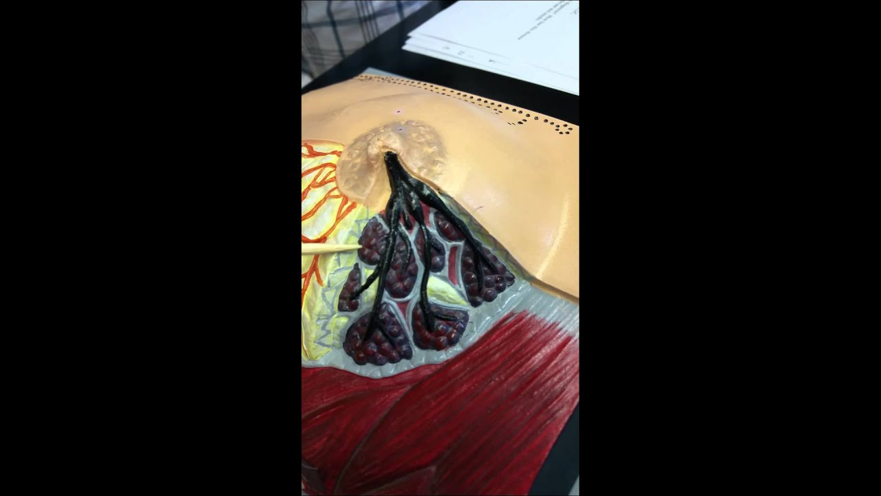 Ch 8: Anatomy of the Mammary Gland - YouTube