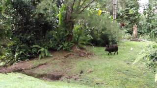 Wild pigs in Puna, Hawaii