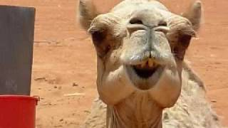Funny Animal Behavior : Camel Chewing