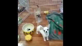 Щенки чихуахуа в Москве. Питомник чихуахуа Москва предлагает недорогих щенков разных окрасов.