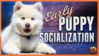 How to do Early Puppy Socialization - Advice, Research, Power Tips