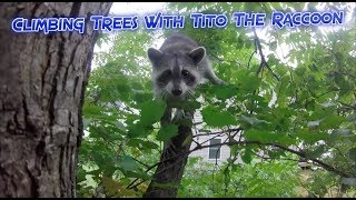 Climbing Trees With Tito The Raccoon thumbnail