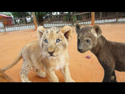 Cute Hyena Cubs and Lion Cubs Playing Together