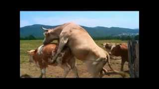 Cow <b>Porn</b>