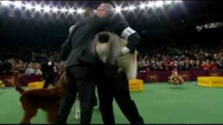 Pekingese Wins Top Prize At America's Westminster Kennel Club Dog Show