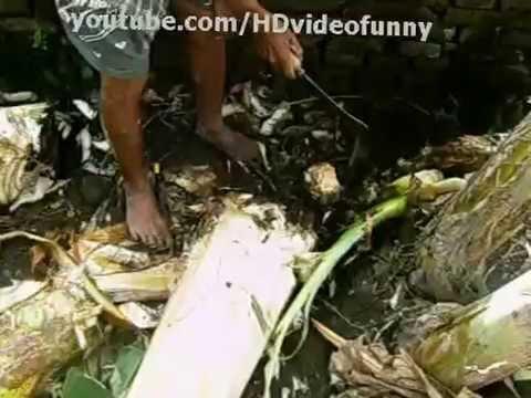 Tanaman Pohon pisang ~ perawatan budidaya pohon pisang