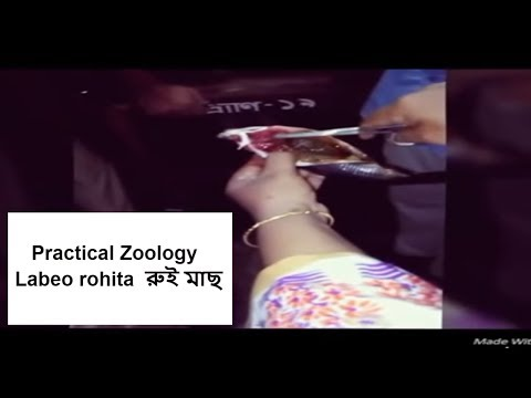 Thumbnail: Practical Zoology ...... Labeo rohita (রুই মাছ)........ Govt. Science College 2015