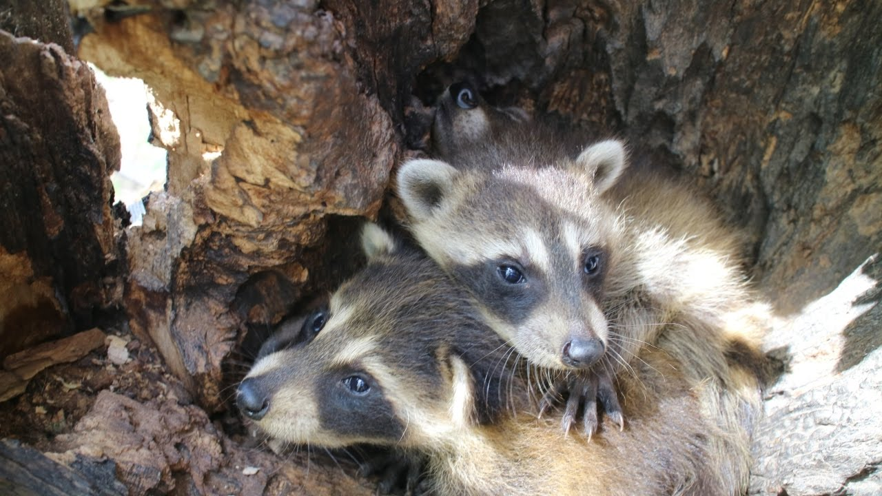 found raccoon nest u0026 3 babies in a tree vlog 38 youtube